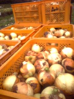 サラタマ収穫!2011